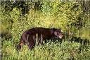 L'Allemagne va capturer ou abattre son unique ours sauvage