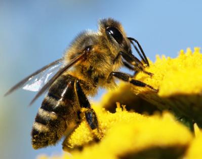 Santé des abeilles: l'utilisation des pesticides sera restreinte dans toute l'UE à compter du 1er décembre