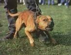 La loi sur les chiens dangereux est prête
