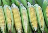 OGM : un projet de loi contesté en procédure d'urgence