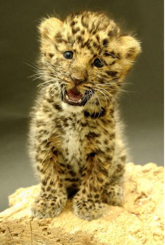 Argoun, petite panthère de l'Amour fait ses premiers pas au Parc zoologique et botanique de Mulhouse (68)