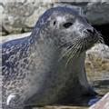 1,25 million phoques ont été tués au Canada au cours de la chasse commerciale annuelle