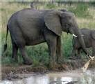 L'Afrique du Sud prête à recourir à l'abattage des éléphants
