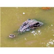 Crocodile en Roussillon