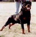 Les Rottweillers attaquent ...