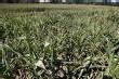 OGM : le délit de fauchage