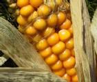 Le Conseil d'Etat confirme la décision du gouvernement d'interdire la culture du maïs génétiquement modifié