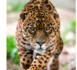 Nat Geo Wild se mobilise aussi en 2013 pour la Big Cats Initiative